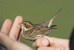 Little Bunting (Emberiza pusilla) (macronyx) Tags: bird birds birding aves birdwatching fåglar vogel oiseaux nature wildlife banded ringed ringmärkt sparv dvärgsparv bunting littlebunting emberiza emberizapusilla