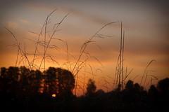 *** (pszcz9) Tags: przyroda nature natura naturaleza jesień autumn światło dawn wschódsłońca sunrise zbliżenie closeup trawa grass kropla dewdrop rosa dew beautifulearth sony a77