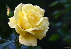 Weekend Rose (Eleanor (No multiple invites please)) Tags: rose yellowrose hollandpark london nikond7200 september2018