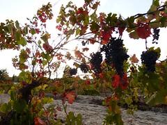 Raïm Negre (calafellvalo) Tags: vino viñas viñedos otoño tardor autumn wine viticulture grapes racimos fall vineyeards farming calafellvalo ocres nature uvasparravinotintoscalafellvalo