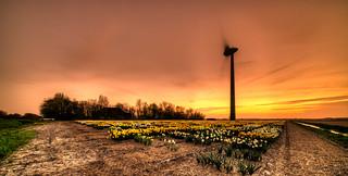 Getting all the daffodils inside before dark.