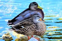 Marina ducks (thomasgorman1) Tags: ducks duck waterfowl birds marina water nikon nature outdoors az arizona