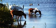 Estação das Águas (Eduardo Amorim) Tags: cavalos caballos horses chevaux cavalli pferde caballo horse cheval cavallo pferd crioulo criollo crioulos criollos cavalocrioulo cavaloscrioulos caballocriollo caballoscriollos pampa campanha pelotas costadoce riograndedosul brésil brasil sudamérica südamerika suramérica américadosul southamerica amériquedusud americameridionale américadelsur americadelsud cavalo 馬 حصان 马 лошадь ঘোড়া 말 סוס ม้า häst hest hevonen άλογο brazil eduardoamorim pôrdosol poente entardecer poniente atardecer sunset tramonto sonnenuntergang coucherdesoleil crepúsculo anoitecer açude barrage dam damm aguada diga