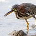 Green Heron (NicoleW0000) Tags: greenheron heron bird wader water nature wildlife closeup