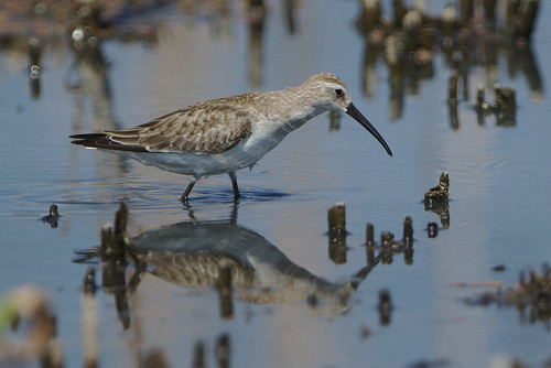 "Curlew sandpiper, Calidris ferruginea, at Marievale Nature Reserve, Gauteng, South Africa • <a style=""font-size:0.8em;"" href=""http://www.flickr.com/photos/93242958@N00/31140963988/"" target=""_blank"">View on Flickr</a>"