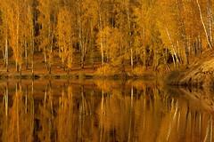 Golden autumn (decemberGirl.) Tags: autumn trees birches yellow golden foliage lake water surface reflection landscape novosibirsk nature 50mm serene ripple