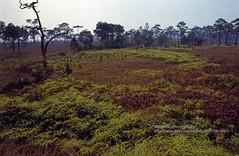 Loei, Phu Kradueng NP (blauepics) Tags: thailand east loei scenery landschaft landscape thai trees bäume forest wald jungle urwald phu kradueng national park nationalpark green grün flowers blumen 1994 isaan isarn