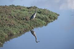 Great blue heron (Ardea herodias), California (peter.prokosch) Tags: greatblueheron ardeaherodias heron bird fishing california usa