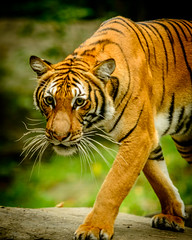 When the tiger broke free (_Robert C_) Tags: bronxzoo zoo tiger d800 70200mm sigma