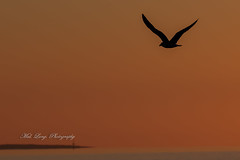 Gull at sunrise flying over Boston Bay (Malcom Lang) Tags: pacific gull seabird sea bird flying sunrise earlymorning bay ocean water sky orange silhouette island headland lighthouse wings beak tail animal port portlincoln portrait photography southaustralia southern south southernaustralia southerneyrepeninsula southernocean australia australian aussie canoneos6d canon canon6d canon100400 canon100400ef early morning eyrepeninsula eyre lower peninsula lowereyrepenninsula