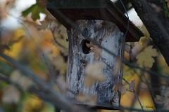 Vogelhaus (Klaus R. aus O.) Tags: vogel holz laub tiere baum holzdach herbst ast zweig nest