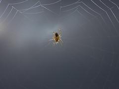 Araignée (Faapuroa) Tags: insecte insect bug araignée spider macro p1000 tahiti nikon coolpix