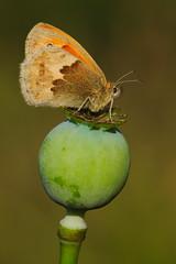 Coenonympha pamphilus (15) (JoseDelgar) Tags: insecto mariposa coenonymphapamphilus 425858148733067 josedelgar naturethroughthelens coth alittlebeauty ngc coth5 npc