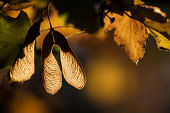 Fall (kenlstites) Tags: fall seeds yellow amber