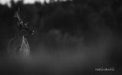 Damhert/Falow deer (Dama dama) (roelivtil) Tags: damhert deer falowdeer monochro monochromebokehthursday zwartwit
