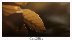 couleur d'automne (gimi.bene) Tags: automne brun brown feuille leaf jaune macro profondeurdechamp proxy planrapproché grosplan sigma105mm canoneos