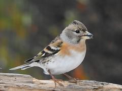 Brambling ♀ (Fringilla montifringilla) (eerokiuru) Tags: brambling fringillamontifringilla bergfink põhjavint bird backyardbirds p900 nikoncoolpixp900