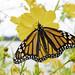 Female Monarch Butterfly feeding