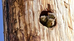 Scurry, Furry, and Twitchy (Scott M. Mohn) Tags: squirrel utilitypole trio rough nest cavity hole wildlife nature sunlight minnesota three brood brown cute sciuridae whiskers rodent sonyilca99m2 blueskies mammal suburban fur family eyes