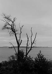 Tree face to Sea - Film Hasselblad (Photo Alan) Tags: film hasselblad hasselbladxpan vancouver canada tree trees beach sea water blackwhite blackandwhite monochrome filmcamera xpannormalformat