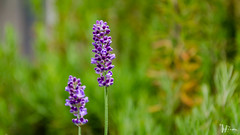 DSC_2323 (Miguelo.) Tags: andalucia digital huelva nikon plantas 2013 españa flores flower violeta campo dc5100