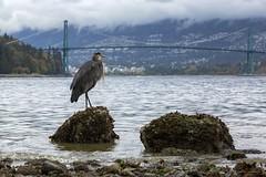 King Of His Castle (Clayton Perry Photoworks) Tags: vancouver bc canada fall autumn explorebc explorecanada stanleypark heron bird