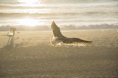 La sera si tinge d'oro (jandmpianezzo) Tags: seagull gabbiano gaviota goeland sera atlantico biscarosse francia plage spiaggia onde sole oro vacanze tramonto surf marea