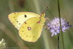Fluoré - Berger's clouded yellow (dom67150) Tags: bergerscloudedyellow butterfly coliasalfacariensis fluoré insect insecte nature papillon