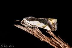 Tarache expolita (aliceinwl1) Tags: az acontiinae acontiini arizona arizona2018 arthropod arthropoda hodges9149 insect insecta lepidoptera moth noctuidae noctuoidea owletmoth sedona tarache taracheexpolita yavapaicounty expolita locpublic viseveryone