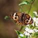 Common buckeye butterfly on white snakeroot