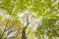Looking Up (Snap Tin) Tags: 2018 silverwood abstract autumn october ravenfield england unitedkingdom gb tree trees woods woodland wood sony southyorkshire alpha a77 up branches leaves nature bark