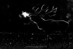 Deer - Cerf (Waitandshoot - Alexandre & Chloé Bès) Tags: oret animaux elaphe cerf photo wildlife strasbourg rhodes croix sainte parc brâme extérieur animal bordure profondeur de champ deer horn forest brown portrait black white doe boar forêt arbre slab brame pelouse paysage mammifère blackandwhite noir et blanc noiretblanc roe