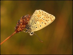 Male Chalkhill Blue roosting (glostopcat) Tags: chalkhillbluebutterfly butterfly insect invertebrate macro glos august summer butterflyconservation prestburyhillnaturereserve