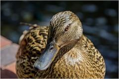 hello !!! (miriam ulivi) Tags: miriamulivi nikond7200 anatra duck germanorealefemmina femalemallard nature