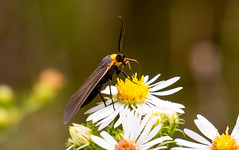 7K8A7885 (rpealit) Tags: scenery wildlife nature weldon brook management area yellowcollard scape moth