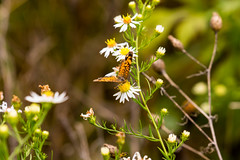 7K8A7886 (rpealit) Tags: scenery wildlife nature weldon brook management area pearl crescent butterfly