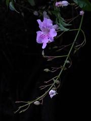 Trumpet Pink Vine (fotomie2009) Tags: bignonia pink trumpet vine contessasara flower fiore flora dark background black