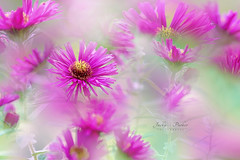 Autumn Aster (Jacky Parker Photography) Tags: asters pink autumnflowers autumngarden autumn2018 autumn fall2018 fallflowers flowers flora blooms flower vibrant freshness fragility beautyinnature selectivefocus focusonforeground outdoors nopeople horizontalformat sunlight flowerphotography nikond750 uk