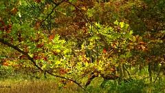 Bur oak leaves in the sunlight (GerdaKettner) Tags: forestpreserve forest forêt bosque bäume wald autumn fall leaves trees oaktree gilberts kanecountyforestpreserve kanecounty freemankamemeagherforestpreserve midwestnature illinoisnature