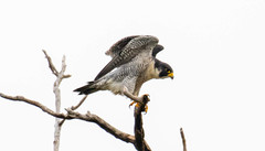 7K8A8257 (rpealit) Tags: scenery wildlife nature state line lookout peregrine falcon bird