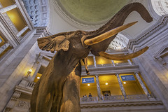 National Museum of Natural History Atrium (jtgfoto) Tags: approved smithsonian nationalmuseumofnaturalhistory naturalhistorymuseum museum washingtondc nature animal atrium elephant rokinon12mm rokinon wideanglelens wideangle sonyalpha sonyimages