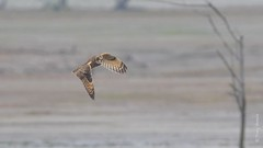 Short-eared Owl (Asio flammeus) (Tony Varela Photography) Tags: asioflammeus canon owl photographertonyvarela seow shortearedowl