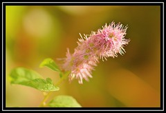 "30/100 for ""100 Flowers 2018"" (NikonShutterBug1) Tags: nikond7100 tokina100mm nature wildlife bokeh spe smartphotoeditor closeup macro flower flora 100flowers2018"