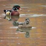 Wood Duck_pair thumbnail