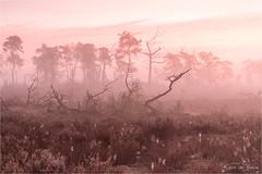 Cotton Candy! (karindebruin) Tags: annemarie belgie jos kalmthoutseheide kleuren zonsopkomst bomen fog heather heide mist sunrise trees spiderwebs spinnenwebben