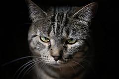 Feline (Jenny Onsager) Tags: cat feline quinn whiskers tabby eyes yellowyes stripes