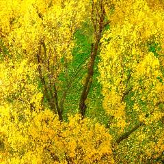 autumn gold (sculptorli) Tags: autumn gold fall abstract tree leaves lautomne осень 秋 树 дерево древо лист leaf 叶 feuille arbre albero foglia hoja árbol otoño 金黄 jaune doré amarillo dorado желтый giallo autunno