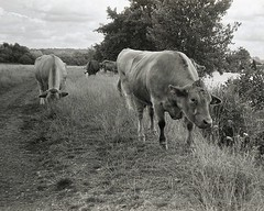 not to be cowed (OhDark30) Tags: carl zeiss jena czj werra 3 fomapan 200 rodinal 35mm film monochrome bw bwfp tessar 2850 landscape river thames path cows grazing bank footpath