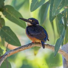 Azure Kingfisher (Alcedo azureus) (Keefy2014) Tags: azure kingfisher alcedo azureus