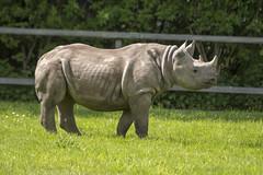 Eastern Black Rhino (Gareth Christian) Tags: camera chesterzoo d750 dicerosbicornismichaeli easternblackrhinoceros hoofedgrazing mammals nikon nikond750 chester england unitedkingdom gb